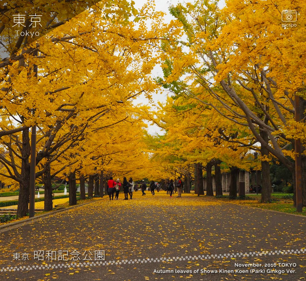 Autumn leaves of Showa Memorial Park