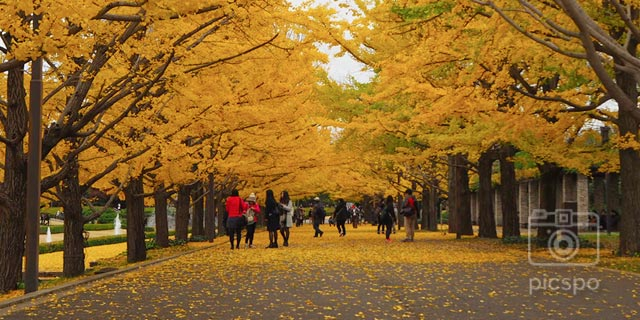 Autumn leaves of Showa Memorial Park! Ginkgo Ver.