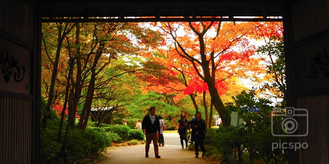 Autumn leaves of Showa Memorial Park! Momiji (maple) Ver.